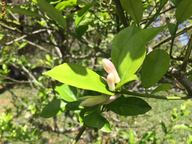 Buds on our Meyer lemon tree