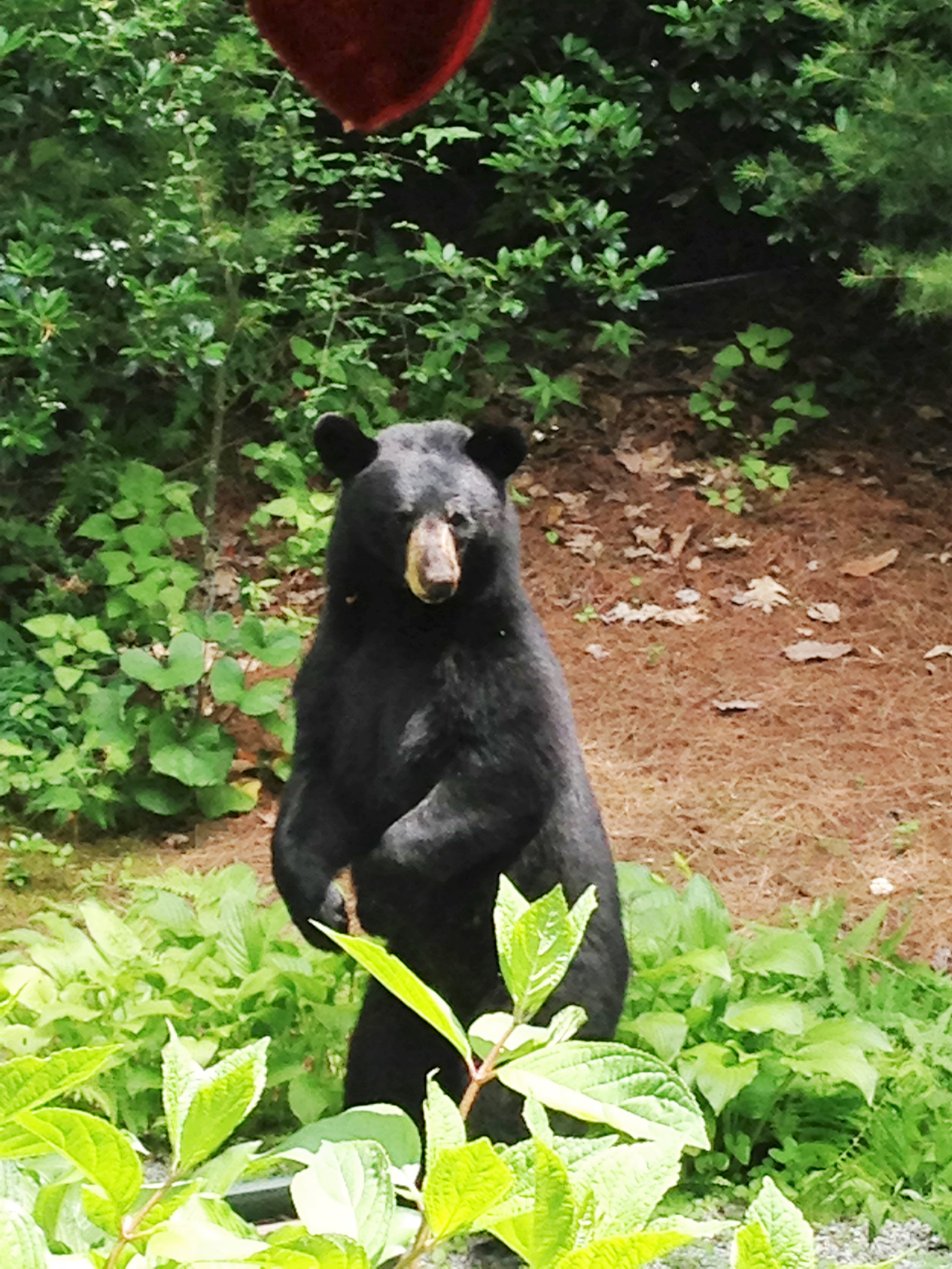 My photo of a black bear raiding a bird feeder in Highlands, NC.