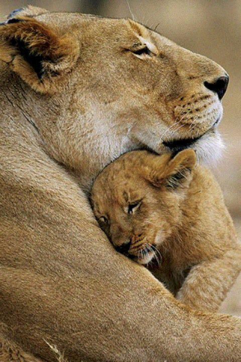 Lioness with Cub, national Reserve, Pilaneberg, South Africa